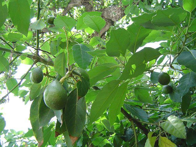 أهمية تكثف المغذيات في ورقة الأڤوكادو