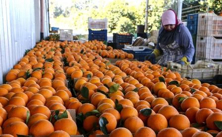 مزارعو حمضيات الجنوب: لاقرار المطالب المحقة والتعويضات لمزارعي الحمضيات والبيوت البلاستيكية
