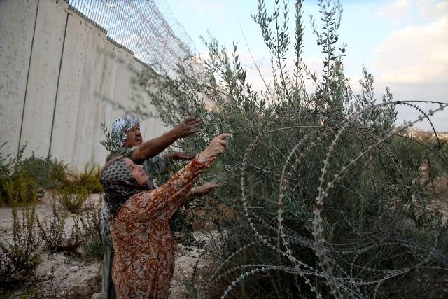 اعتقالات بالضفة والقدس ومستوطنون يسرقون محاصيل الزيتون