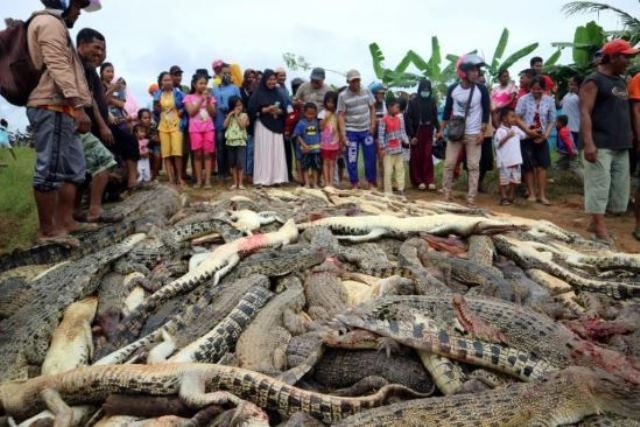 إندونيسيون يقتلون نحو 300 تمساح في هجوم انتقامي