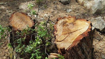 جريمة بيئية في زغرتا... قطع الأشجار في حرج بمزرعة التفاح
