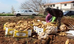 مزارعو البطاطا في عكار: لإيجاد حل سريع لتصريف الانتاج قبل أن تقع الكارثة