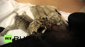 بالفيديو.. كلبة حنون ترعى 3 أشبال من النمور النادرة!