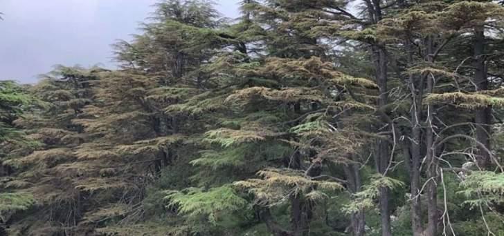 أرز لبنان وشجر الصنوبر في خطر: حشرات قاتلة نتيجة التغيير المناخي