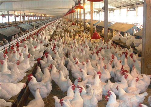 الدجاج الفاسد: من البركة إلى المستهلك!