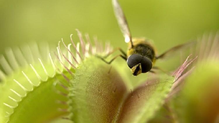 العلماء يفسرون ظاهرة النباتات المفترسة