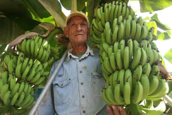 جمعية المزارعين تدعو إلى المشاركة في يوم غضب مزارعي الموز