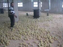 بالفيديو: أصحاب مزارع الدواجن يعتصمون رفضاً لاستيراد الدجاج