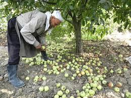 تعويضات التفاح في مهبّ الريح... ملفات ضائعة وغياب للشفافية المزارعون إلى الشارع في حال عدم تحويل 20 مليار ليرة اليوم