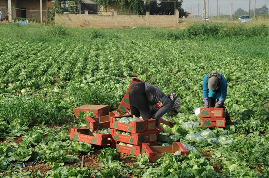 التصدير البحري ينقذ المزارعين: زيادة97 %
